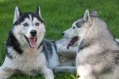 Portrait of  two dogs - Siberian Husky — Stock Photo