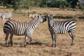 Zebras in the grasslands — Stock Photo
