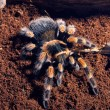 Mexican red knee tarantula — Stock Photo #71036459
