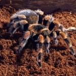 Mexican red knee tarantula — Stock Photo #71037377