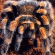 Mexican red knee tarantula — Stock Photo #71037751
