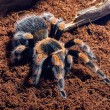 Mexican red knee tarantula — Stock Photo #71037803