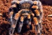 Mexican red knee tarantula — Stock Photo