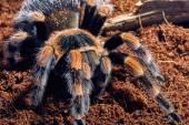 Мексиканские красный колена тарантул — Стоковое фото