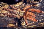 Tarantula Tapinauchenius gigas — Stock Photo