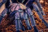 Tarantula Phormictopus sp purple — Foto de Stock