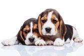 Beagle yavru beyaz arka plan üzerinde — Stok fotoğraf