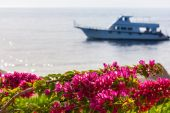 Pink bougainvillea, Sharm el Sheikh, Egypt. — Stock Photo