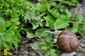 Snail on the leaves — Stock Photo