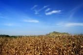 Golden corn field — Stock Photo