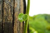 Kivi Leaf — Stock Photo