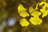 Ginkgo biloba yaprakları — Stok fotoğraf