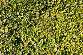 Wall covered with green ivy — Stock Photo