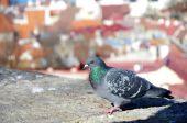 タリンに赤い屋根の背景に鳩. — ストック写真
