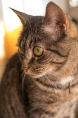 European shorthaired cat — Stock Photo