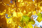 Yellow autumn leaves against the trees — Stock Photo