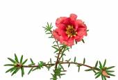 Red flower portulaca isolated on white background — Stock Photo