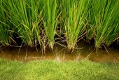 Rice, cereal plant — Stock Photo