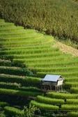 Hut on rice terrace — Stockfoto