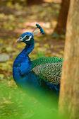 Peacock , type of beautiful bird — Stock Photo
