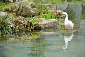 White duck in the pond — Stock Photo