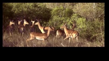 African impalas — Video Stock