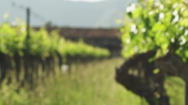 Vineyard and white roses — Stock Video