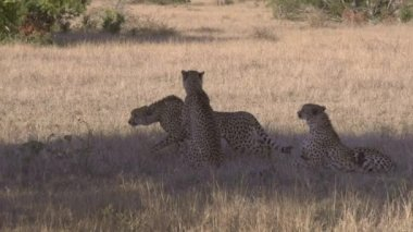 African cheetas — Vidéo