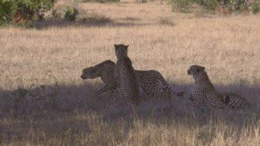 African cheetas — Video Stock