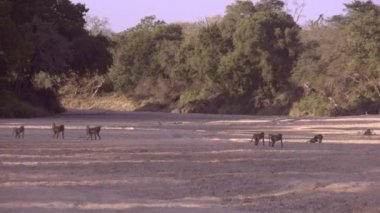 Baboons Tribe Crossing River Bed — Stock Video