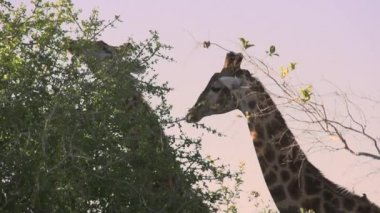 Giraffe Feeding — Vídeo de Stock
