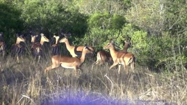 African impalas — Stock Video