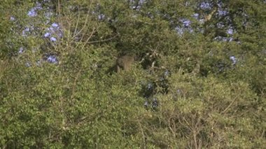 Baboon leaping from tree — Stock Video