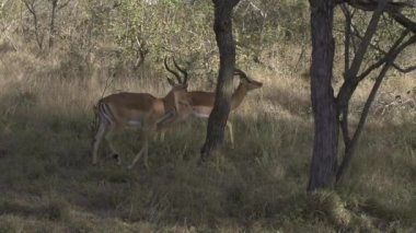African impalas — Video Stock