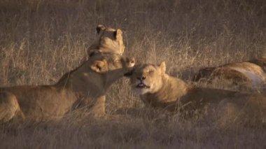 Lions cuddling — Stock Video