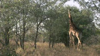 Besleme zürafa — Stok video