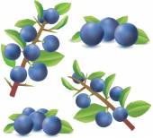 Group of Blackthorn or Sloe berries isolated on white background. — Stock Vector