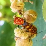 Sex  of shield bugs — Stock Photo #56511221