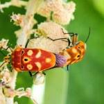 Sex  of shield bugs — Stock Photo #56511243