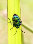 Bug (Chrysocoris stollii) — Stock Photo