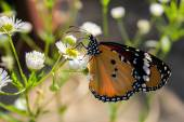 Butterfly on white flowers — Stock Photo