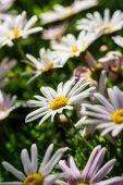 Daisy — Stockfoto