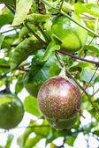 Passion fruit — Zdjęcie stockowe