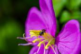 Malabar melastome (Indian rhododendron) flower — Foto de Stock