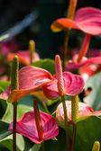 Flamingo lily — Stock Photo