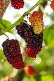 Fresh ripe mulberry berries on tree — Stock Photo
