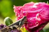Grasshopper on pink flower — Stock Photo