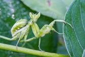 Praying mantis (Mantis religiosa) on green leaf — Stock Photo
