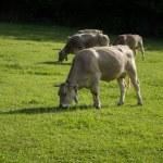 The Bruna dels Pirineus beef cattle breed — Stock Photo #56462983