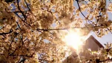 Blossoming fruit trees, cherry and flying bees around the flowers the sun through the cherry flowers blue sky through the cherry flowers — Vídeo de stock